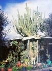 Grandad's Cactus in Kelvin Rd
